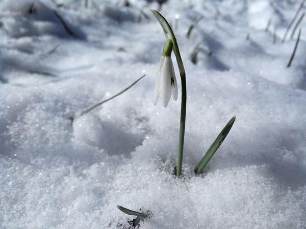 Hóvirág, a nőnapi virág