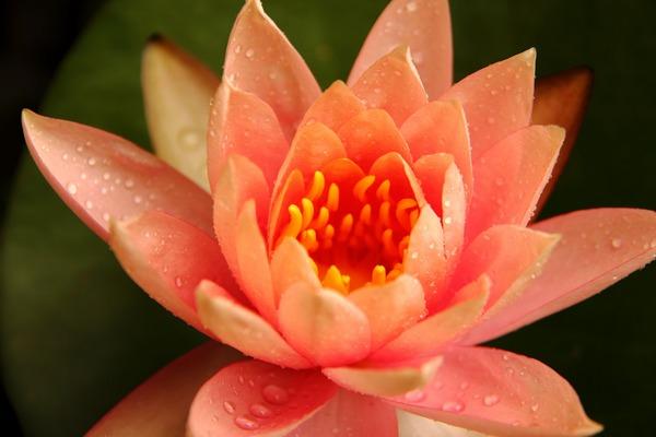 Padparadsa - lótuszvirág