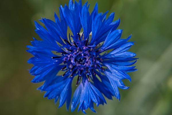 Kasmír zafír búzavirág kék